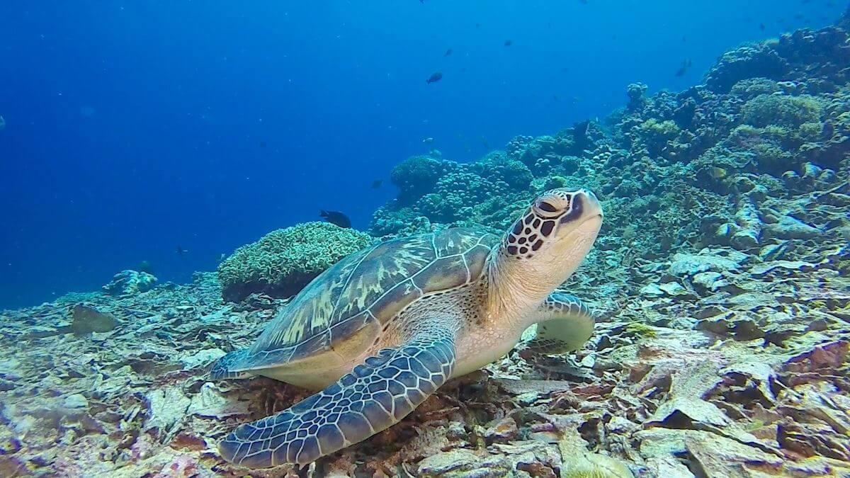 Turtles are quite easy to spot when snorkeling on Gili Meno